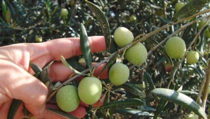 kleinschalig en natuurvriendelijk geteelde olijven